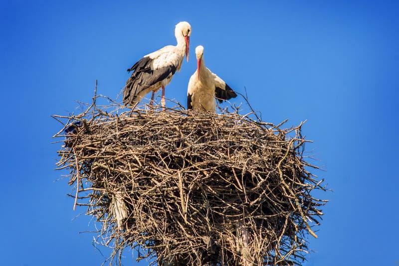 Paare Störche im Nest stockbilder