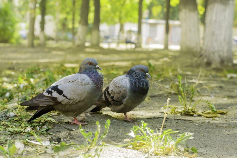 Paare Tauben, die aus den Grund, zwei Tauben stehen stockbild