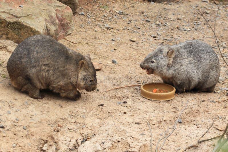 Paare von allgemeinen Wombaten lizenzfreie stockfotografie