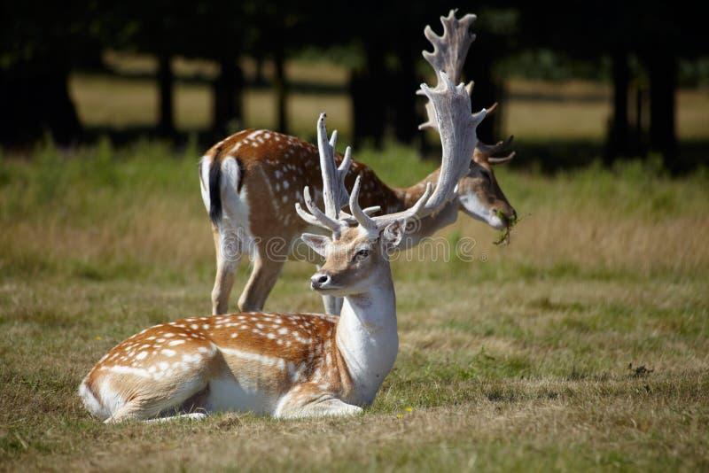 Paare von dappled deers lizenzfreies stockbild