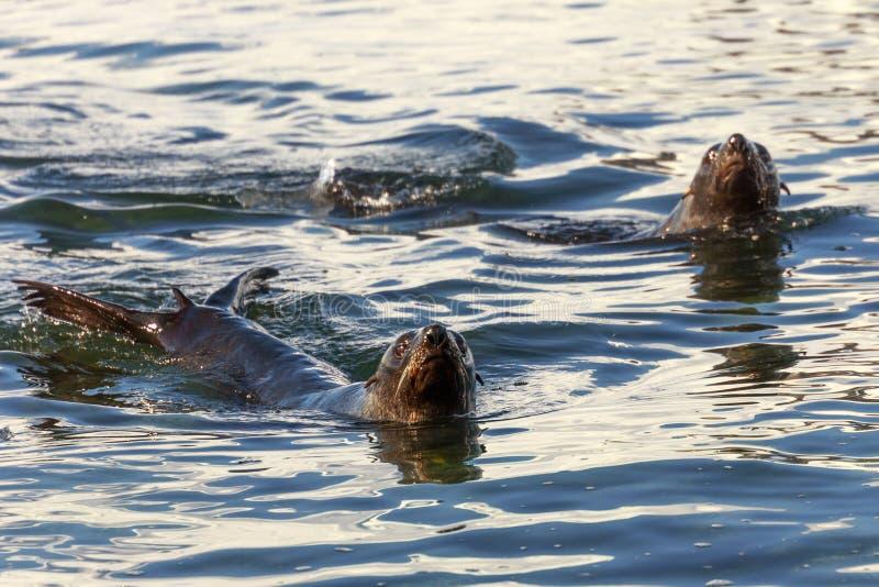 Paare von den antarktischen Pelzrobben, die im kalten Meerwasser bei Hal schwimmen stockbilder