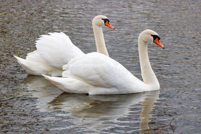 Paare von den schönen Höckerschwänen, die auf der Flussoberfläche schwimmen stockbild