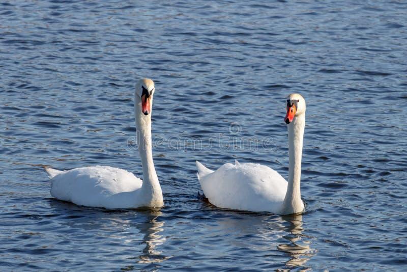 Paare von den schönen Höckerschwänen, die auf der Oberfläche des blauen Wassers schwimmen lizenzfreies stockbild