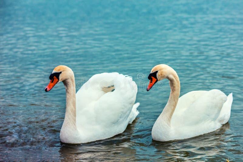 Paare von den Schwänen, die im See schwimmen lizenzfreies stockbild