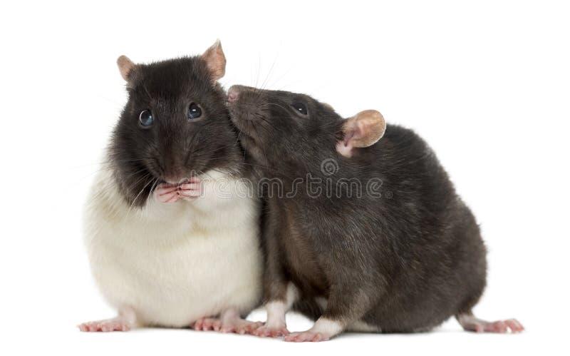 Paare von den sitzenden und schnüffelnden Ratten stockfoto