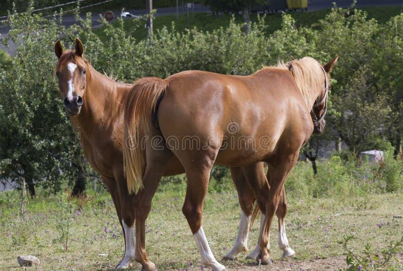 Paare von den weiden lassenden Pferden stockfotografie