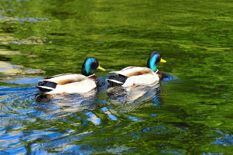 Paare von Dragon Mallard Ducks stockfotografie