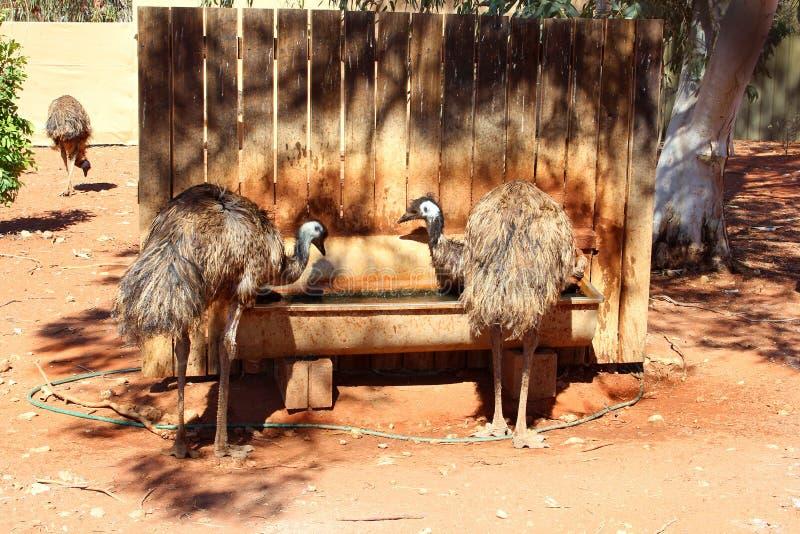 Paare von Emus sind Trinkwasser, Australien lizenzfreies stockfoto