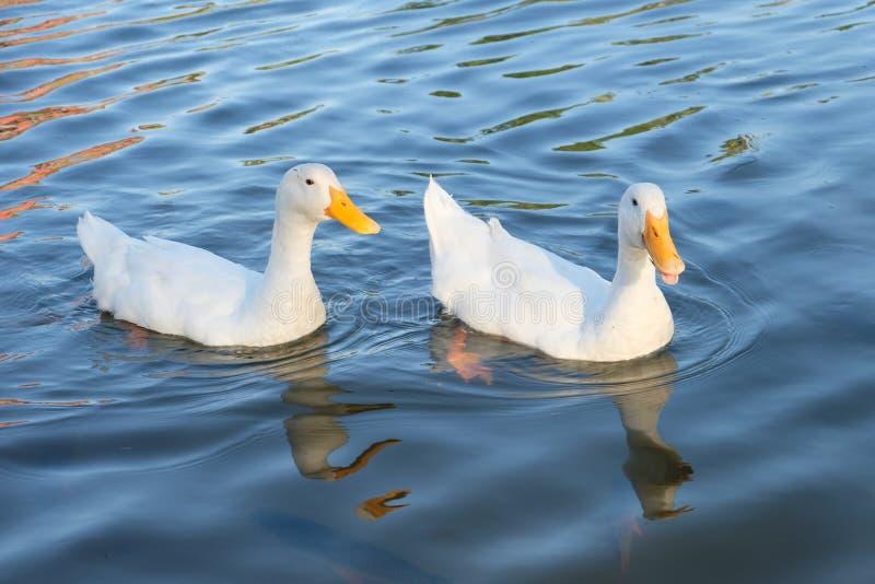 Paare von Enten lizenzfreie stockbilder