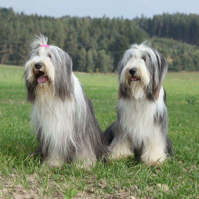 Paare von erstaunlichen Bearded Collien lizenzfreies stockbild