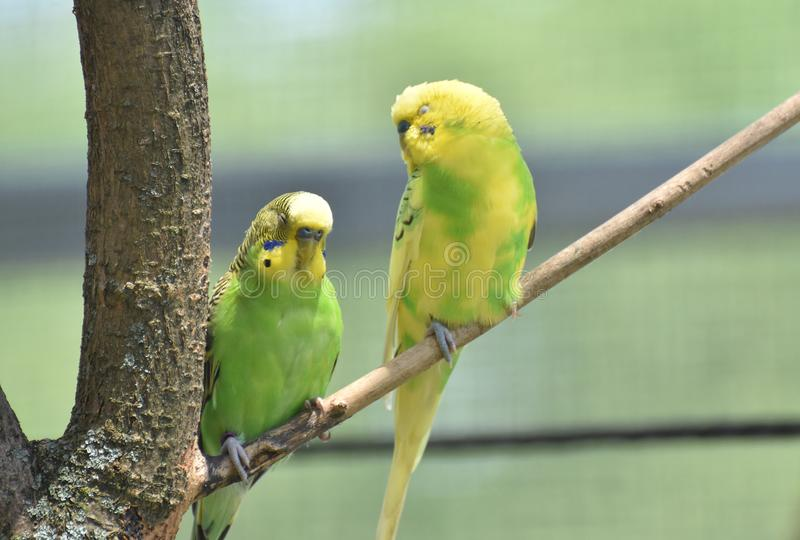 Paare von gelbem und grünem Budgies, das auf einem Ast sitzt lizenzfreie stockfotografie