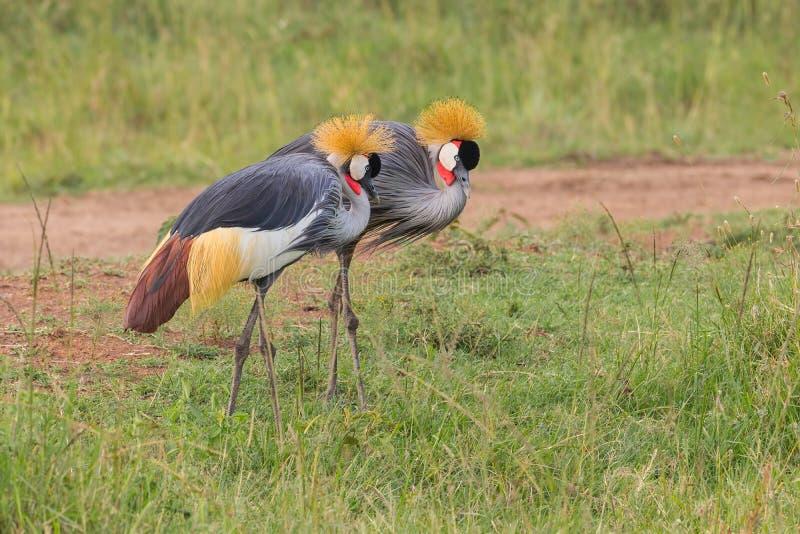 Paare von Grey Crowned Cranes Foraging lizenzfreies stockbild