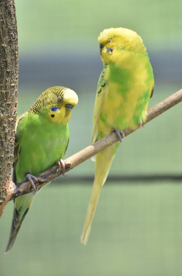 Paare von hellem farbigem Budgies, das zusammen auf einer Niederlassung sitzt lizenzfreies stockfoto