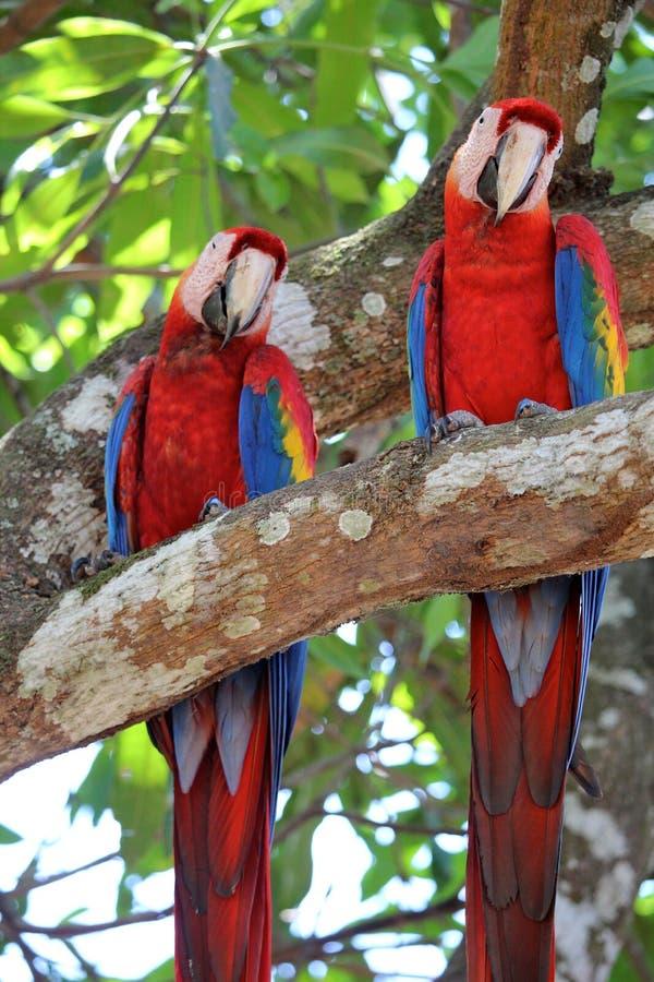 Paare von Keilschwanzsittichen auf einem Baum in Costa Rica lizenzfreies stockfoto