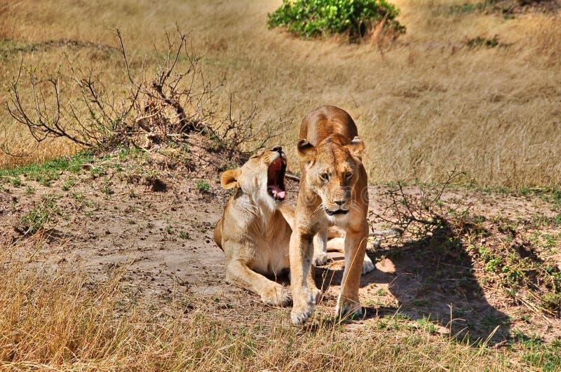 Paare von Löwen auf Masai Mara National Park, Kenia lizenzfreie stockfotografie