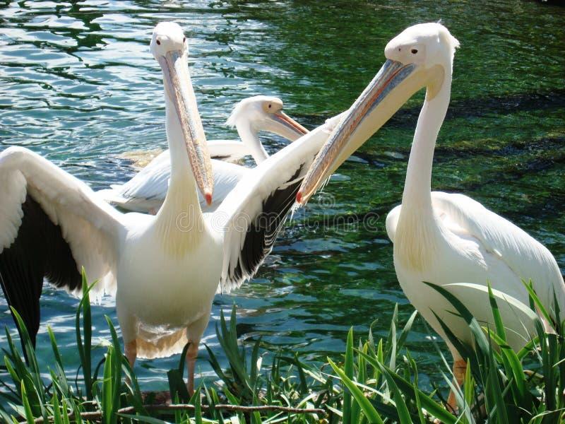 Paare von Pelikan-Vögeln stockbilder