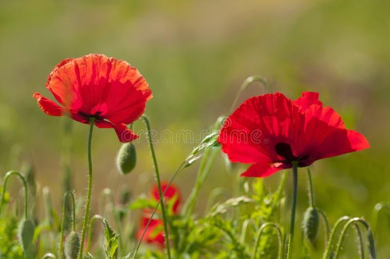 Paare von roten Mohnblumen lizenzfreies stockbild