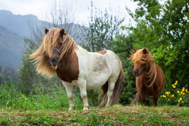Paare von schönen Ponys mit dem langen Haar im wilden lizenzfreies stockbild