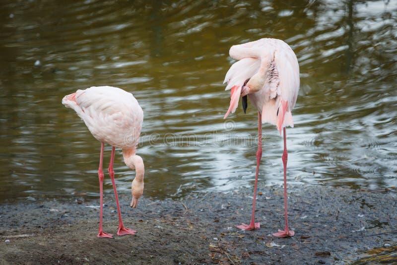 Paare von schönen rosa Flamingos stehen am Rand des Teichs und säubern das Gefieder stockbilder