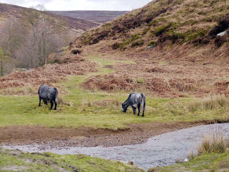 Paare von sonderbaren schauenden Kühen durch Strom lizenzfreie stockfotos