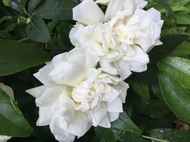 Paare von weißen Rosen lizenzfreies stockfoto