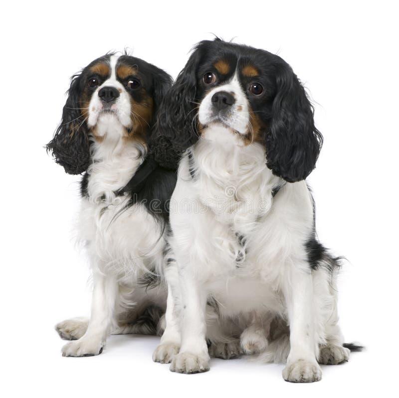 Paare von zwei Kavalier-Königcharles Spaniel (4 und lizenzfreies stockfoto