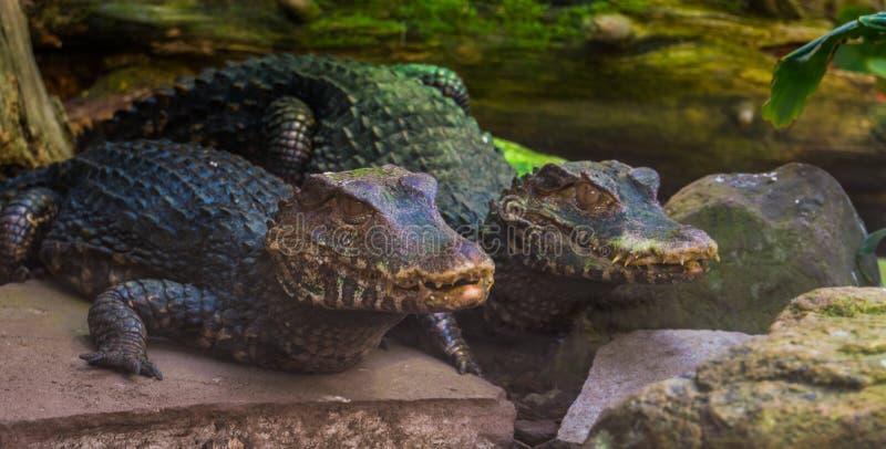 Paare von zwergartigen Kaimankrokodilen zusammen, tropischer Reptil Specie von Amerika lizenzfreies stockbild