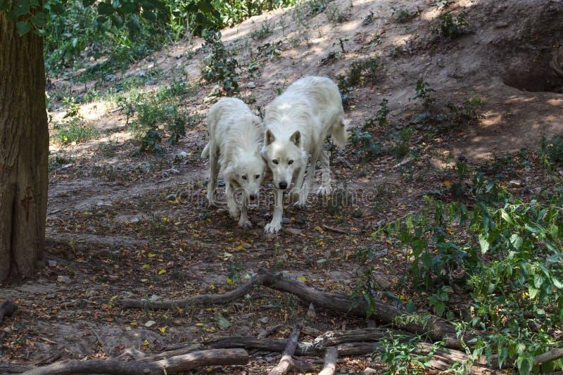 Paare weiße Wölfe Canis Lupus arctos, die zusammen in Wald gehen stockbild