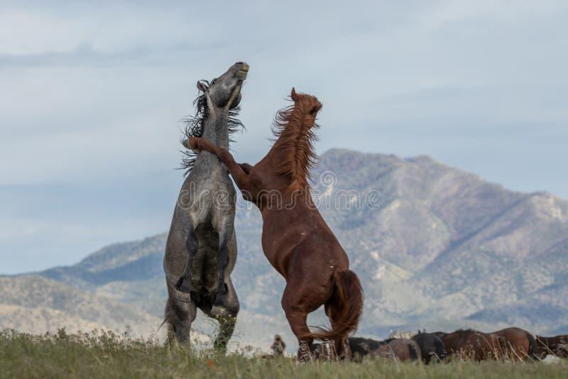 Paare wilde Pferdedes kämpfens stockfotografie