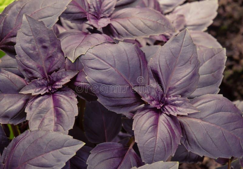 Paars basilicum groeit in de tuin Selectieve focus stock afbeeldingen