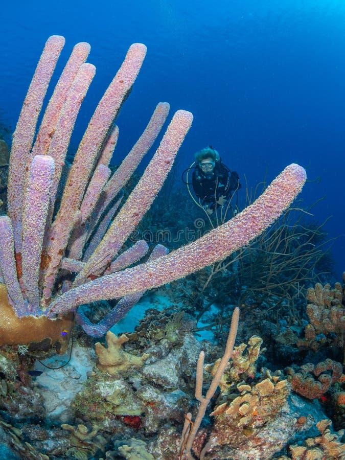 Paars kachelspons, Aplysina archeri, in Bonaire Caraïbisch duikvakantie royalty-vrije stock foto's