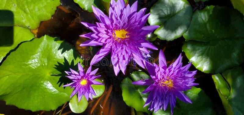 Paars waterleltje gevonden in een botanische tuin in Okinawa Japan royalty-vrije stock fotografie