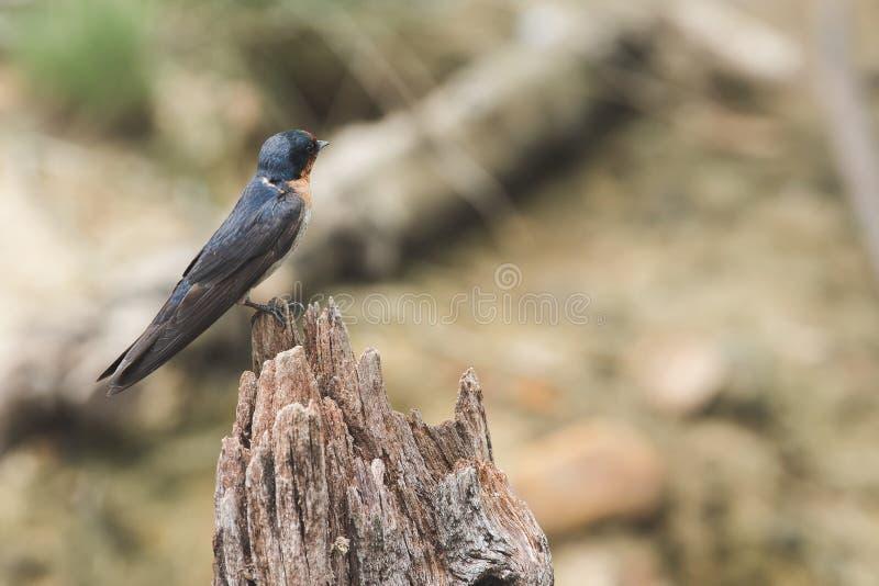 pacífico Engorda sobre a madeira seca na natureza imagem de stock