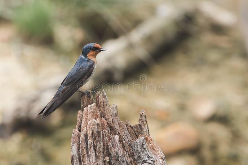 pacífico Engorda sobre a madeira seca na natureza fotografia de stock