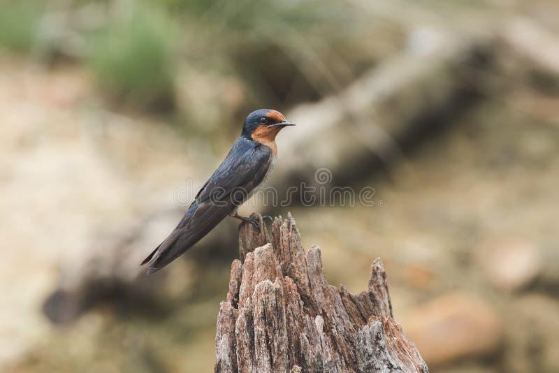 pacífico Engorda sobre a madeira seca na natureza foto de stock royalty free