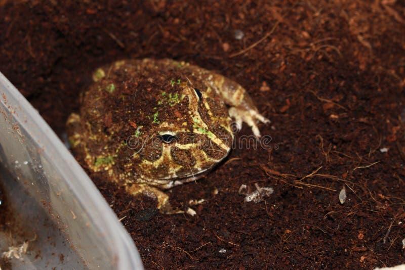 Pac人青蛙共同的宠物青蛙 免版税图库摄影