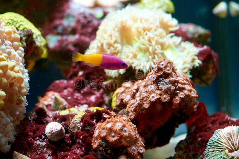 Paccagnella reale di Pictichromis del dottyback - porpora bicolore e fotografia stock