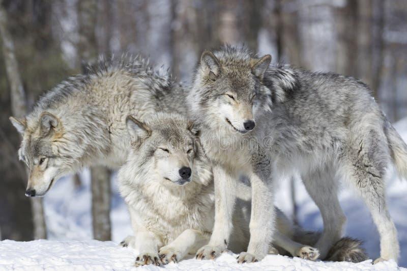 Pacchetto dei lupi immagine stock libera da diritti