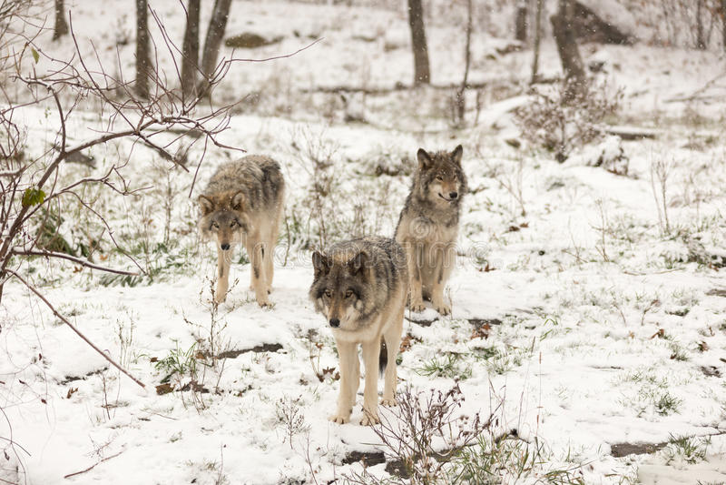Pacchetto dei lupi comuni in una scena di inverno fotografie stock