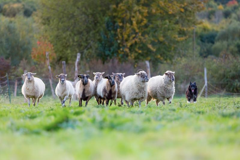 Pacchetto delle pecore con un cane da pastore australiano fotografia stock libera da diritti