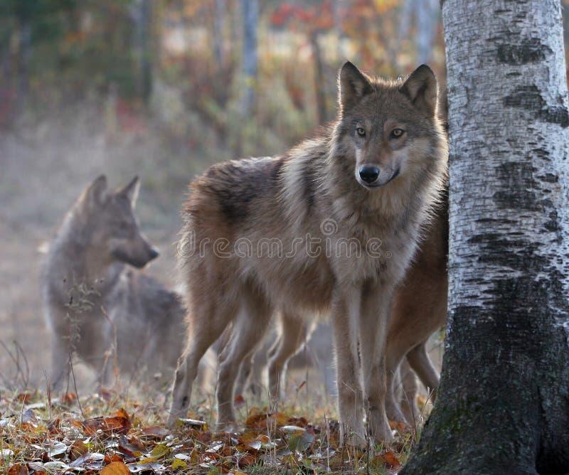 Pacchetto di lupo fotografia stock