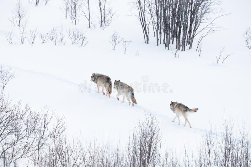 Pacchetto di lupo che cammina nel paesaggio di inverno immagine stock libera da diritti