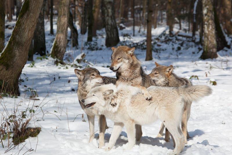 Pacchetto di lupo comune nella foresta di inverno fotografia stock libera da diritti