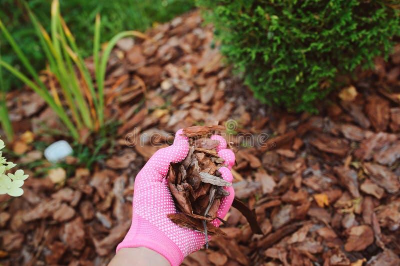 Pacciamazione dei letti di pacciame del giardino con la corteccia del pino immagini stock