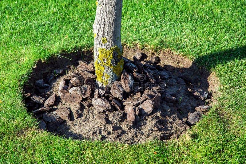 Pacciamazione della corona di pacciame di un albero in un giardino immagine stock libera da diritti