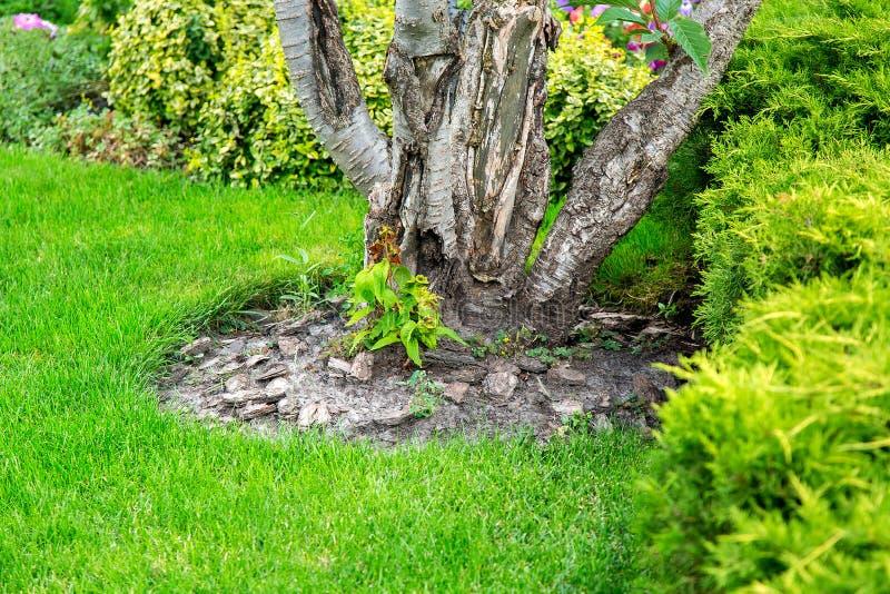 Pacciamazione della corteccia di pacciame di albero sotto un albero crescente fotografia stock