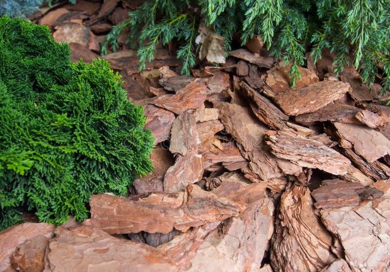 Pacciamazione della corteccia di pacciame di pino delle piante fotografia stock libera da diritti