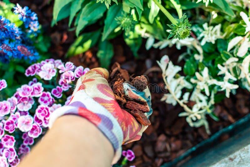 Pacciamazione della piantatrice di pacciame di recente piantata Hobby e svago Giardinaggio di estate Ricoprendo come soluzione pe fotografie stock