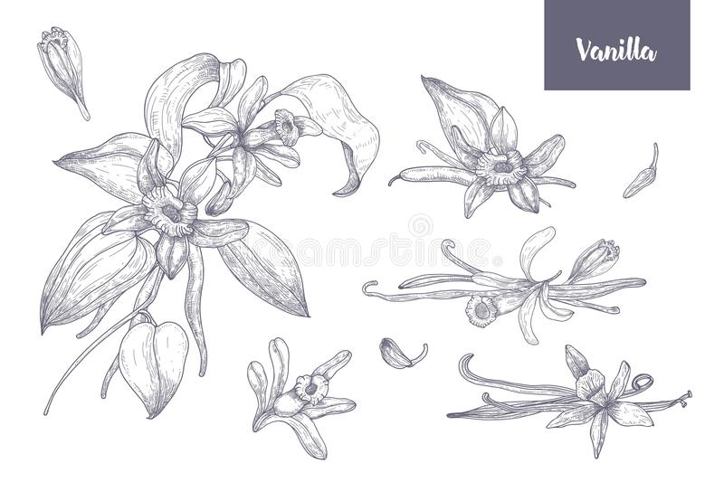 Pacco dei disegni naturali delle piante della vaniglia con i frutti o baccelli, fiori di fioritura e foglie isolati su bianco royalty illustrazione gratis