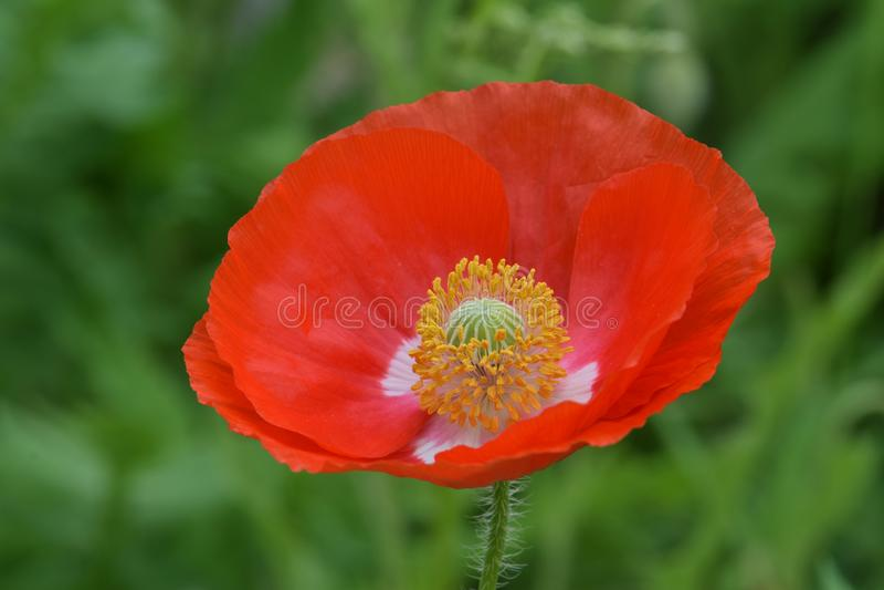 Pace arancio Poppy Petal Cup 01 delle Fiandre fotografie stock